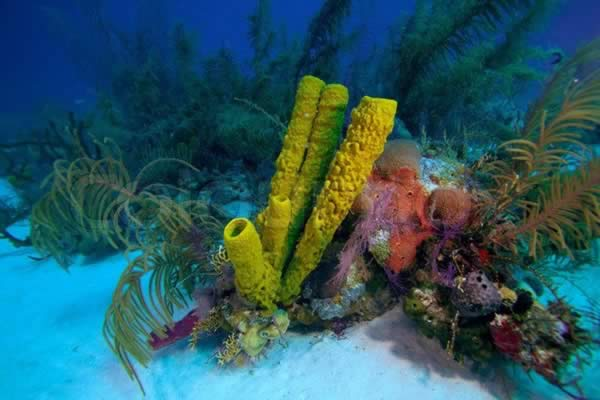Corals in Cayo Coco and Cayo Guillermo