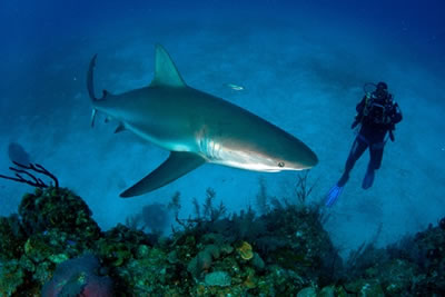 Diving with Sharks - Santa Lucia, Cuba