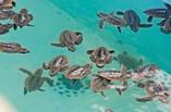 Hotel Sol Cayo Largo sea turtles