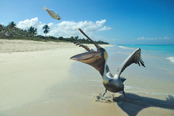 Pelicans on the beach of  Varadero